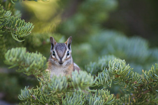 Who is Watching Who? - Uinta Chipmunk