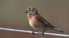 Linotte mlodieuse, Am, n (R, 2014-05-11_03) (th_franc) Tags: oiseau linottemlodieuse