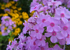 pink and yellow (tquist24) Tags: park pink flowers summer flower macro yellow bristol geotagged nikon unitedstates indiana phlox bonneyvillemillcountypark nikond5300