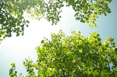 a sunshine (satisfiedmoments) Tags: trees light summer sky color tree green nature sunshine japan leaf sapporo