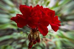 Begnia (Gilda Tonello) Tags: bokeh flor vermelho florvermelha