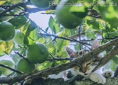 Neko (Armando Forward) Tags: folhas leaves cat hojas kitten natural outdoor kitty gato  tender gatinho  gatito  airelibre tierno    aoarlivre