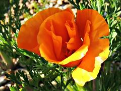 California Poppy (tinlight7) Tags: uk orange flower kent poppy plantae eschscholzia californianpoppy californiapoppy bluebellwoods eschscholziacalifornica papaveraceae magnoliophyta magnoliopsida ranunculales tracheophyta taxonomy:class=magnoliopsida taxonomy:order=ranunculales taxonomy:family=papaveraceae taxonomy:kingdom=plantae taxonomy:genus=eschscholzia amapoladecalifornia taxonomy:phylum=magnoliophyta taxonomy:binomial=eschscholziacalifornica taxonomy:common=californiapoppy taxonomy:species=californica taxonomy:common=californianpoppy taxonomy:common=amapoladecalifornia taxonomy:superphylum=tracheophyta