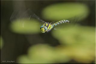 In a flurry of wings - Dragonfly in flight