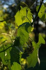 DSC08800.jpg (tanyamaslyuk) Tags: sunlight leaves grape