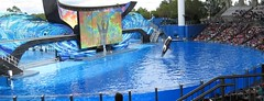 Killer Whale_1774-crop (G Kirk) Tags: world ocean sea blackandwhite white fish black water one blackwhite orlando marine florida dolphin killer whale fl orca seaworld majestic mammals shamu killerwhale grampus centralflorida orcinus blackfish gkirk orcawhale oneocean canonsx50hs