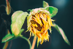 """""""Faded"""" (helmet13) Tags: flower nature flora raw blossom bokeh faded sunflower withered selectivefocus latesummer aoi 100faves peaceaward heartaward world100f d800e"""