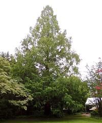 Dawn Redwood (AccessDNR) Tags: belair bigtrees 2015 dawnredwood bigtreechampion