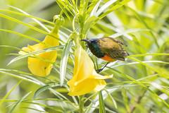 Flame-breasted Sunbird (Cinnyris solaris solaris), Labuan Bajo, Flores, Indonesia, 2015-09-16--101 (maholyoak) Tags: flores birds indonesia labuanbajo nectariniidae sunbirdsandspiderhunters flamebreastedsunbird cinnyrissolarissolaris