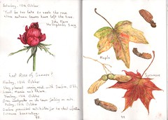 Maple and Sycamore (Hornbeam Arts) Tags: tree rose garden sketch maple sycamore watercolour