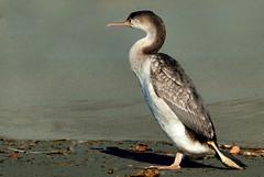 Anglų lietuvių žodynas. Žodis anchovy reiškia n zool. ančiuvis lietuviškai.