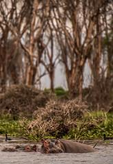 DSC_0811 (Jorge kaplan) Tags: africa lake lago nikon kenya safari d750 hippo nikkor kenia masai 28300mm hipopotamo naivasha