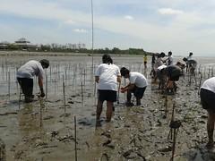 10.12.2015-AngloSingapore-BangPu-100 trees (34) (pattfoundation2014) Tags: thailand education mangrove treeplanting bangpu pattfoundation anglosingapore