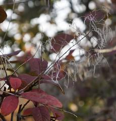 smoke tree (sara_rall) Tags: rutgersgardens