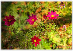 Nature - Flowers - Very Late Autumn Flowering Cosmos Flowers Against a Background of Golden Autumn Colours. (Bill E2011) Tags: autumn usa canada colour nature beauty canon southafrica mexico seasons vivid cosmos centralamerica