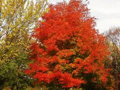 Gimmee orange (MissyPenny) Tags: pennsylvania southeasternpa autumn maple orange tree vividorange smileonsaturday