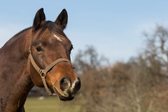 "Jaquido (""Schnuffel"") (HendrikSchulz) Tags: november horses horse outside pferde pferd koppel 2015 animalphotography tierfotografie schnuffel pferdefotografie horsephotography friesenstallweh hendrikschulz hendriktschulz"