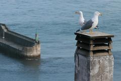 Lastres (fertraban) Tags: sea puerto mar seagull asturias aves pjaros ave gaviotas colunga dique lastres cantbrico