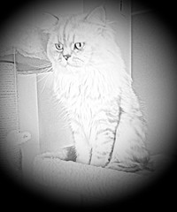 Persian cat  in her scratching post (romeosilverpersian) Tags: blackandwhite cats vignette persiancats scratchingpost photoeffects silvertabby longhaircats tiragraffi silvershaded silvercats catbreed gattipersiani gattigrigi chinchillacats gattichinchilla gattiargentati