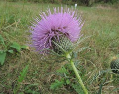 Cirsium discolor (Field Thistle) (Turtlerangler) Tags: kentucky cirsium fayette purpleflowers ravenrun