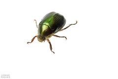 Colorful scarab beetle (ggallice) Tags: green ecuador amazon rainforest beetle whitebackground chafer biodiversity scarabaeidae rutelinae sumaconationalpark riobigal bigalriverbiologicalreserve