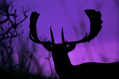 Stag silhouette (adambotond) Tags: wild holland nature animal silhouette canon nationalpark europe stag outdoor wildlife thenetherlands deer telephoto sillouette fallowdeer awd dama naturephotography damadama wildlifephotography canonef400mmf56l canoneos6d dmvad stagsilhouette eurpaidmvad amsterdamsewaterleidungduinen