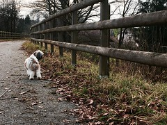 My Little Dog, Thao. (Gaetan682) Tags: winter dog chien france love apple spring hiver like follow amour alsace promenade fondu nol arbre printemps feuilles piste iphone 6s petitchien 12mpx i6s iphone6s backcamra