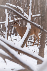 in the thick (jimmy_racoon) Tags: park winter white nature minnesota canon is woods state deer mk2 5d ft buck 70200 tailed whitetaileddeer snelling f4l ftsnellingstatepark 70200f4lis canon5dmk2
