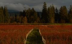Maple Ridge BC (Ian Threlkeld) Tags: dykes canada landscapes nikon flickr bc britishcolumbia explore pacificnorthwest popular westcoast pnw mapleridge irt nikonphotos beautifulbc canadianlandscapes nikonphotography explorebc d7000 mynikonlife