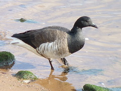 Brant (Dendroica cerulea) Tags: winter bird bay newjersey waterfront nj aves fav20 goose brant perthamboy branta anatidae anseriformes arthurkill fav10 brantabernicla raritanbay middlesexcounty neornithes anserinae neognathae galloanserae carinatae