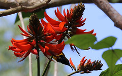 Olive-backed Sunbird (7) copy (sixdos) Tags: nature birds fauna canon australia queensland biodiversity sunbird tropicalnorthqueensland farnorthqueensland olivebackedsunbird menacreek nectariniajugularis paronellapark yellowbelliedsunbird australiannativefauna canoneos7dmarkii
