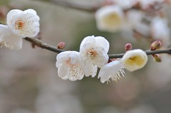 plum blossoms (snowshoe hare*(catching up)) Tags: flowers kyoto shrine  ume   plumblossoms  kitanotenmangushrine dsc1054
