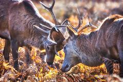 Biff Bang Wallop.... (paulinuk99999 - tripods are for wimps :)) Tags: paulinuk99999 red deer rut young teenagers antlers bushy park sunlight november 2016 sal70400g