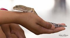 Euphrates the Leopard Gecko (ToddLahman) Tags: animalambassador reptile gecko leopardgecko sandiegozoosafaripark safaripark escondido canon7dmkii canon canon100400 closeup lizard