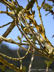 Teranyina de branques (Marcel Marsal) Tags: terayina branques arbres 2016 estiu mura natura vegetaci fongs cel nature tranquilitat moians valls occidental