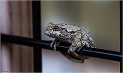 hanging around (Max Gerber Smith) Tags: frog grandravinesnorth ottawacountyparks