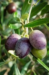 2016-10-26_09-59-57 (slava_kushvalieva) Tags: 2016 lascasillas olives spain