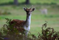Pricket Fallow Deer. (spw6156 - Over 5,160,003 Views) Tags: pricket fallow deer iso 640cropped copyright steve waterhouse summerwatch