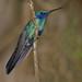 Sparkling Violetear, Colibri coruscans