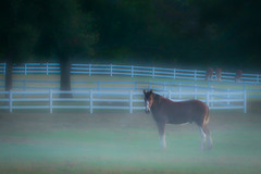 Misty Morning (psmithusa) Tags: misty morning pasture fence green animal horse clydesdale nature outdoor outdoors white brown mane serene mist fog soft grantsfarm farm contestwinner
