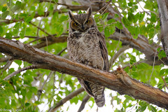 Great horned owl in tree - closer (brianeagar) Tags: owl greathornedowl bird utah daviscounty perch tree cloudy outside outdoor utahbird utahwildlife utahnature wildlife nature animal fujixf100400 fuji100400 fujixt2 fujinon fuji october 2016 autumn elm roost xt2 stare eye eyes eyecontact