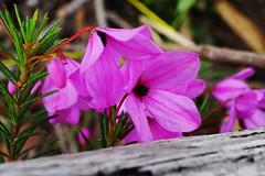 Black-eyed Susan (Blue Mtns. bush girl) Tags: tetratheca ericifolia blackeyedsusan pink