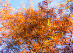 Tamarack (Podsville) Tags: lansing larixlaricina michigan november autumn fall tamarack tree trees
