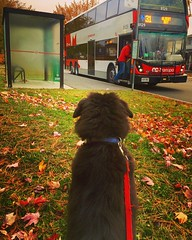 Socializing the puppy (Jamie McCaffrey) Tags: busstop morning iphone6s iphone fall outdoor autumn leash ottawa octranspo bus socializing puppy dog aussieshepherd australianshepherd