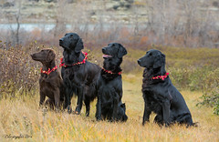 Better Late Than Never (Blazingstar) Tags: thanksgiving day portrait dogs flatcoated retrievers puppy