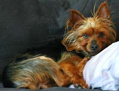 Sleepy Piper on the Couch (stormdog42) Tags: piper dog yorkshireterrier yorkie foster evanstonanimalshelter