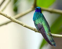 IMG_0196 Sparkling Violetear (suebmtl) Tags: hummingbird green sparkling purple sparklingvioletear colibricoruscans ecuador napoprovince wildsumaco