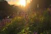 (bernardo.becerraluna) Tags: nature naturaleza sun sunshine reflejo destello atardecer sunset sol puestadesol flower flowers color colores colour colours green canon canont5i t5i spirit espiritu shot photo photography world happy monterrey mexico mx peace