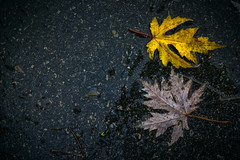 Foglie morte (mariateresa toledo) Tags: autunno2016 pioggia autumn rain foglie leaf filemot leaves asfalto asphalt mariateresatoledo sony sonynex7 distagontfe1435 zeiss dsc08750modifica1