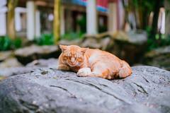 Sleeping Cat (drumbunkerdragon) Tags: cute slepeing cat nikon df nikkor 50mm f12 ais singapore rock feline domestic animal pet furry bokeh